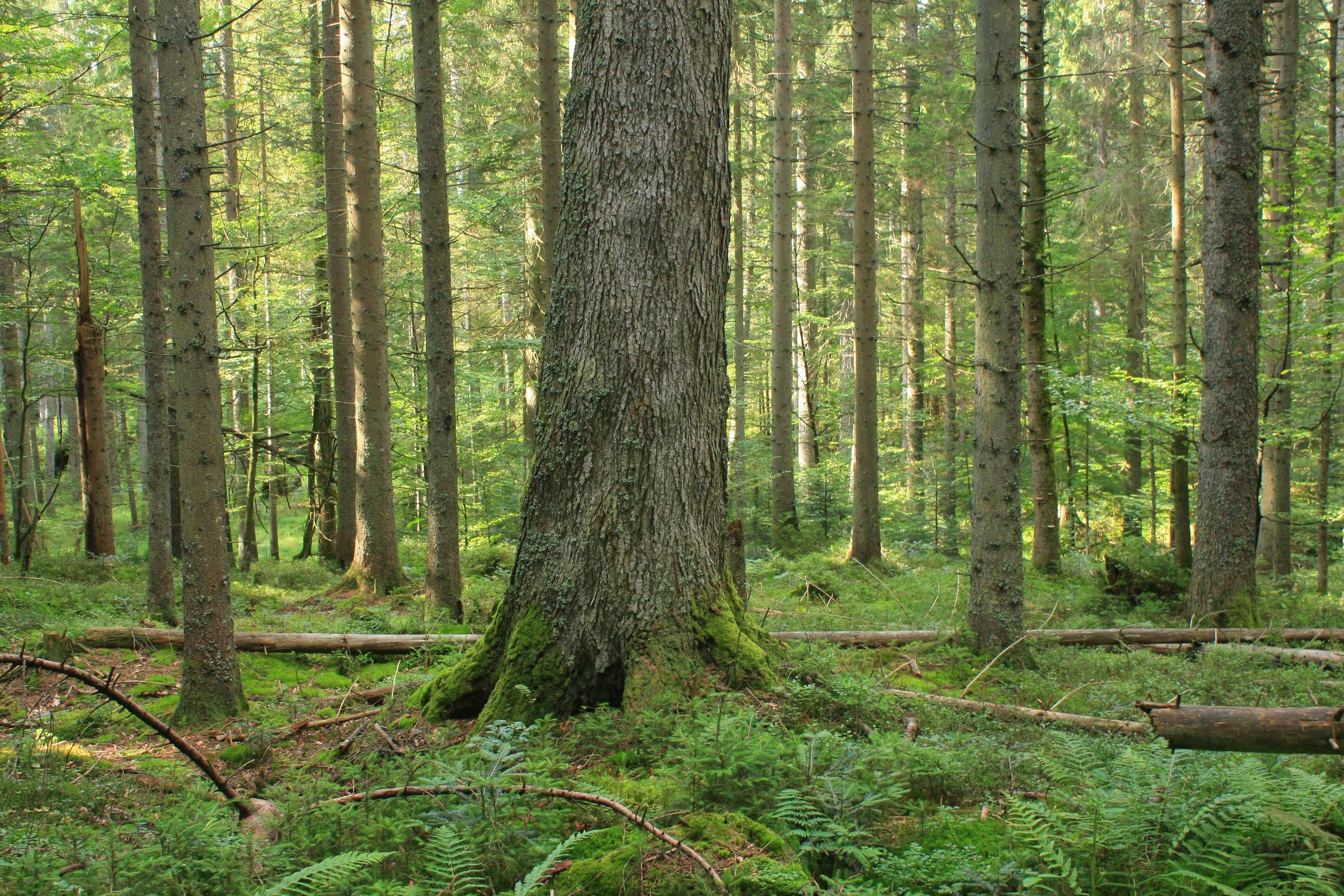 beim Zwiesler Waldhaus, Aufichtenwald, Gemeine Fichte (Picea abies), Heidelbeere (Vaccinium myrtillus)
